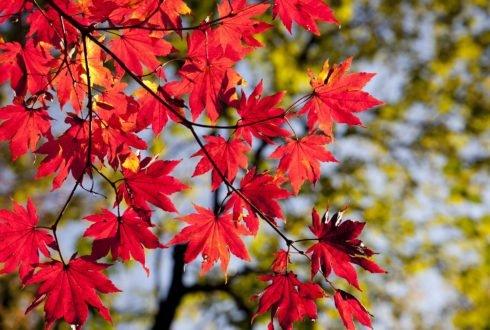 Liście z drzewa sąsiada – kto ma zbierać?