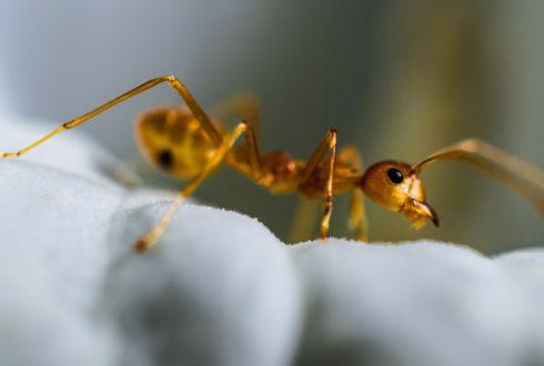 Mrówki w mieszkaniu - jak wyprowadzić je z mieszkania?