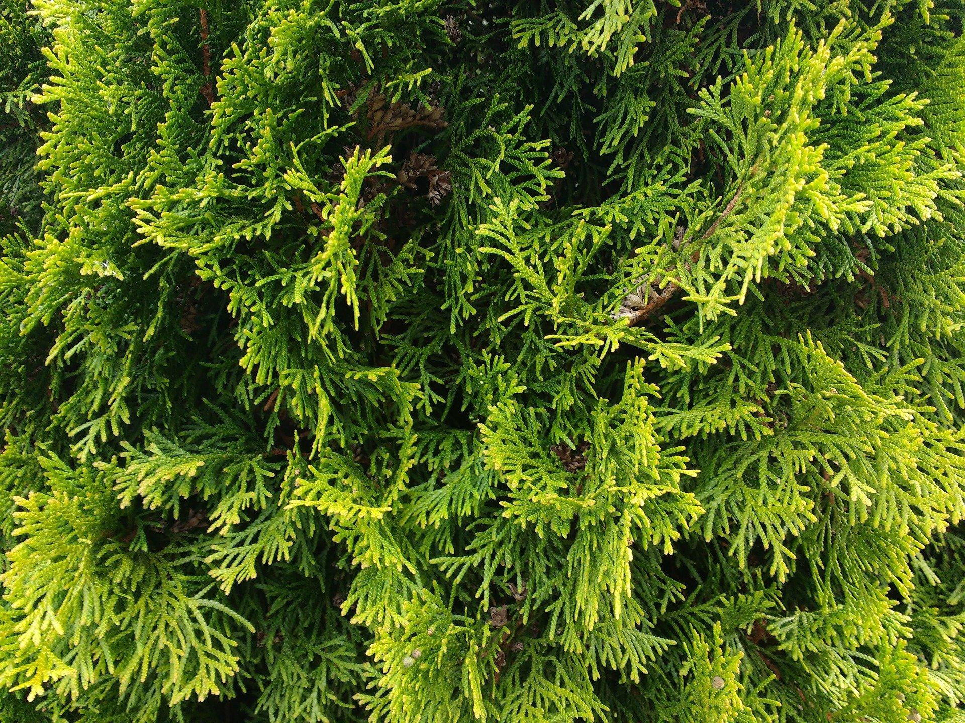 Żywopłot z tui – gęsta zielona osłona od sąsiada