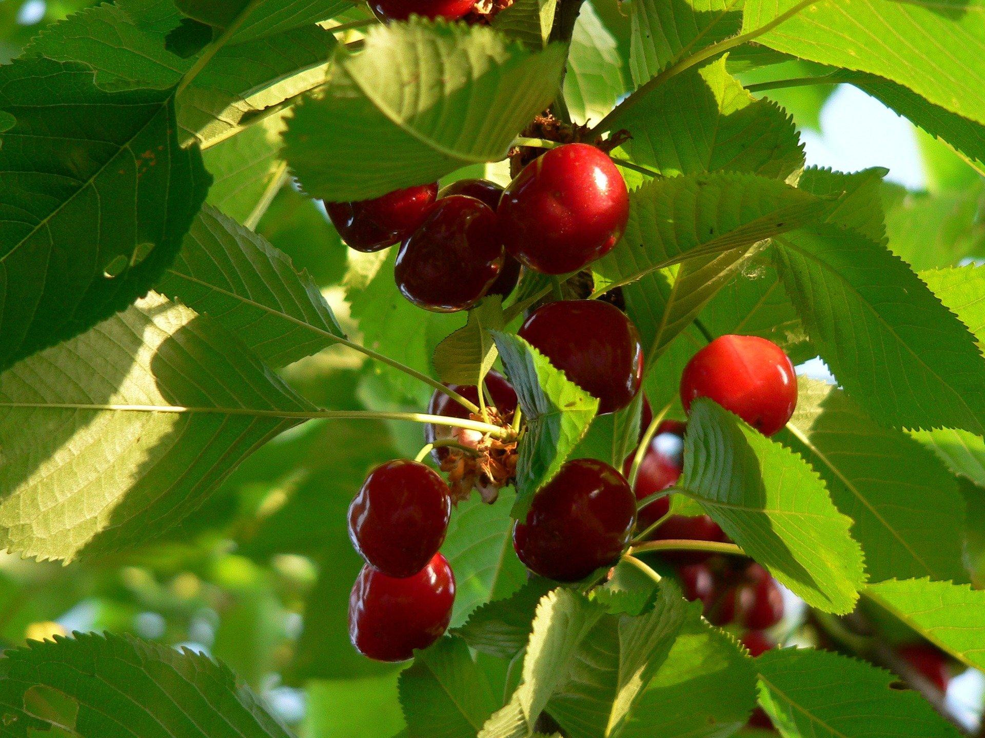 Odmiany czereśni nadające się do uprawy w ogrodzie