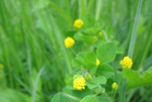 Lucerna siewna – niepozorna roślina o wielu zastosowaniach